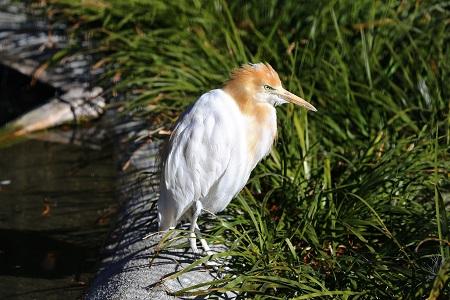 Egretta ibis