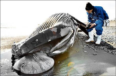 8天 鯨魚浮屍