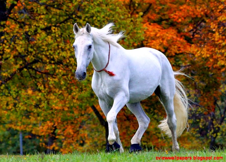3d Beautiful White Horse Wallpaper Beautiful White Horses