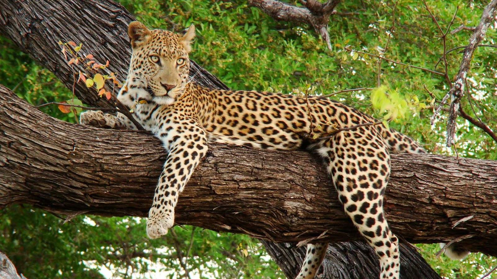 animal print wallpaper hd 1080p - photo #5