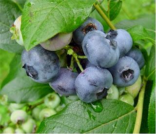 Beneficios a la salud de los Arandanos