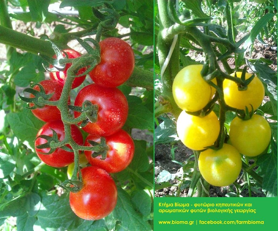 Παραδοσιακές ποικιλίες μικρόκαρπης Τομάτας