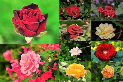Rosas de colores  para el Día de las Madres VIII (10 fotos)