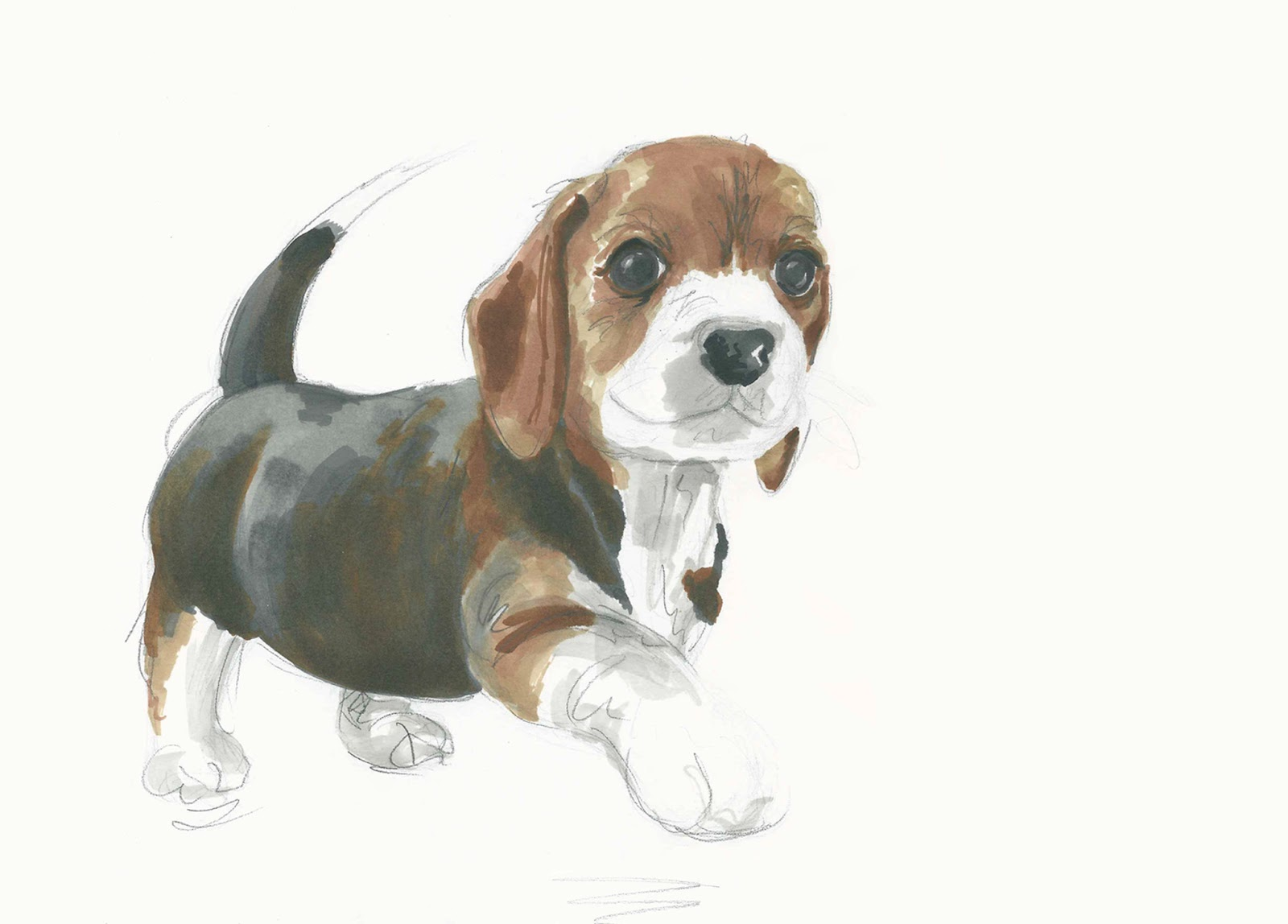 Beagle Puppy Drawings Dog Breeds Picture