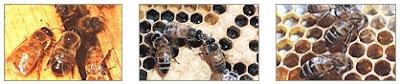 obat jerawat alami dengan air liur lebah
