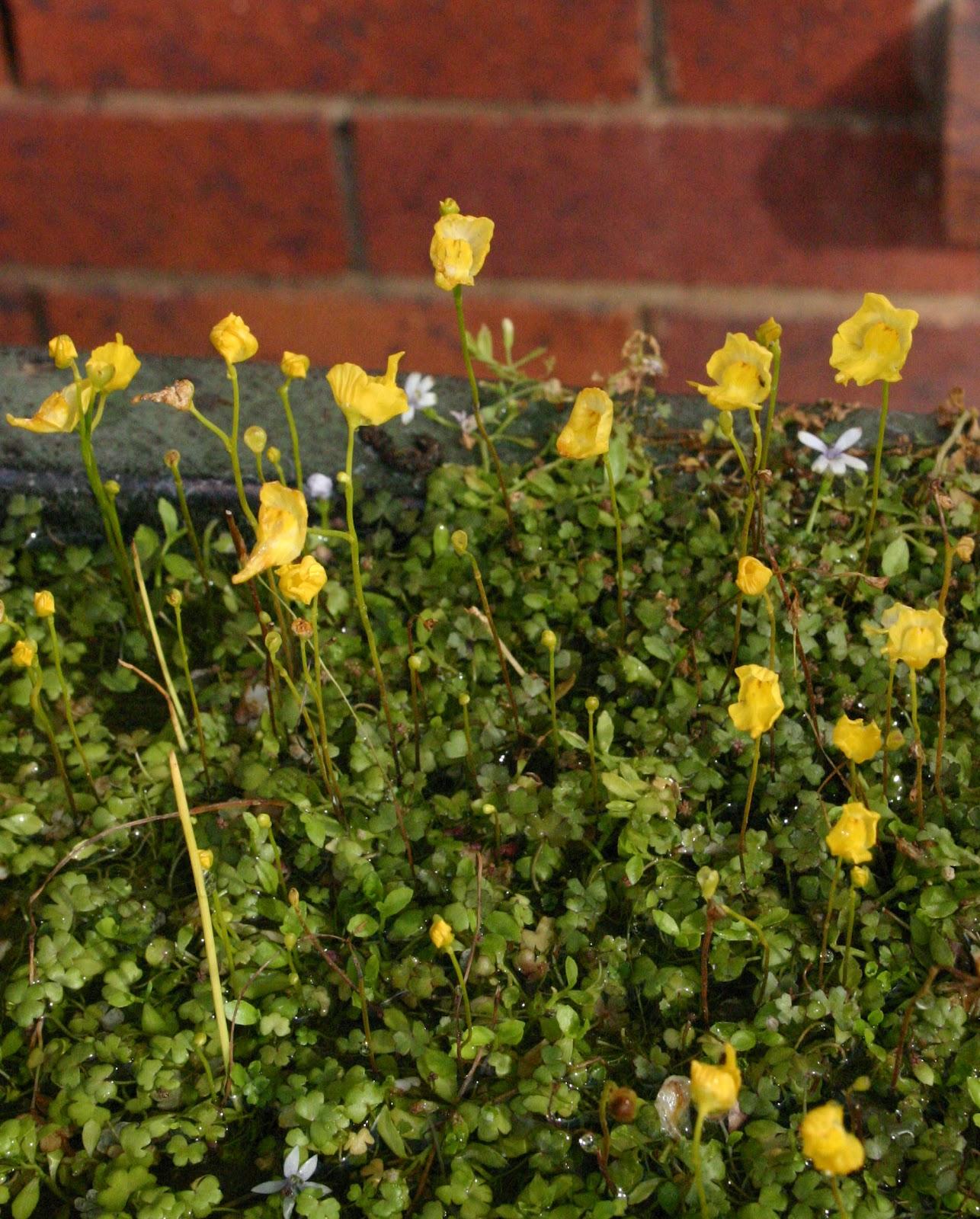 Toowoomba Plants Small Leaved Pennywort