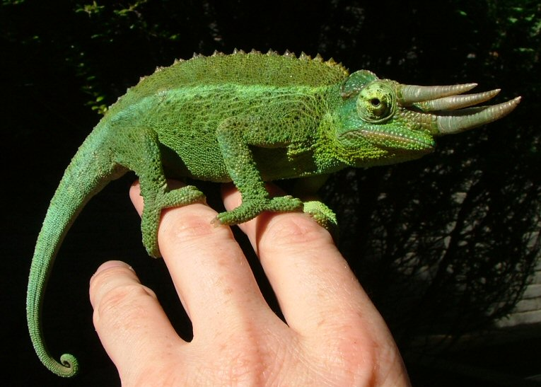 AmazingChameleons: Amazing Chameleons