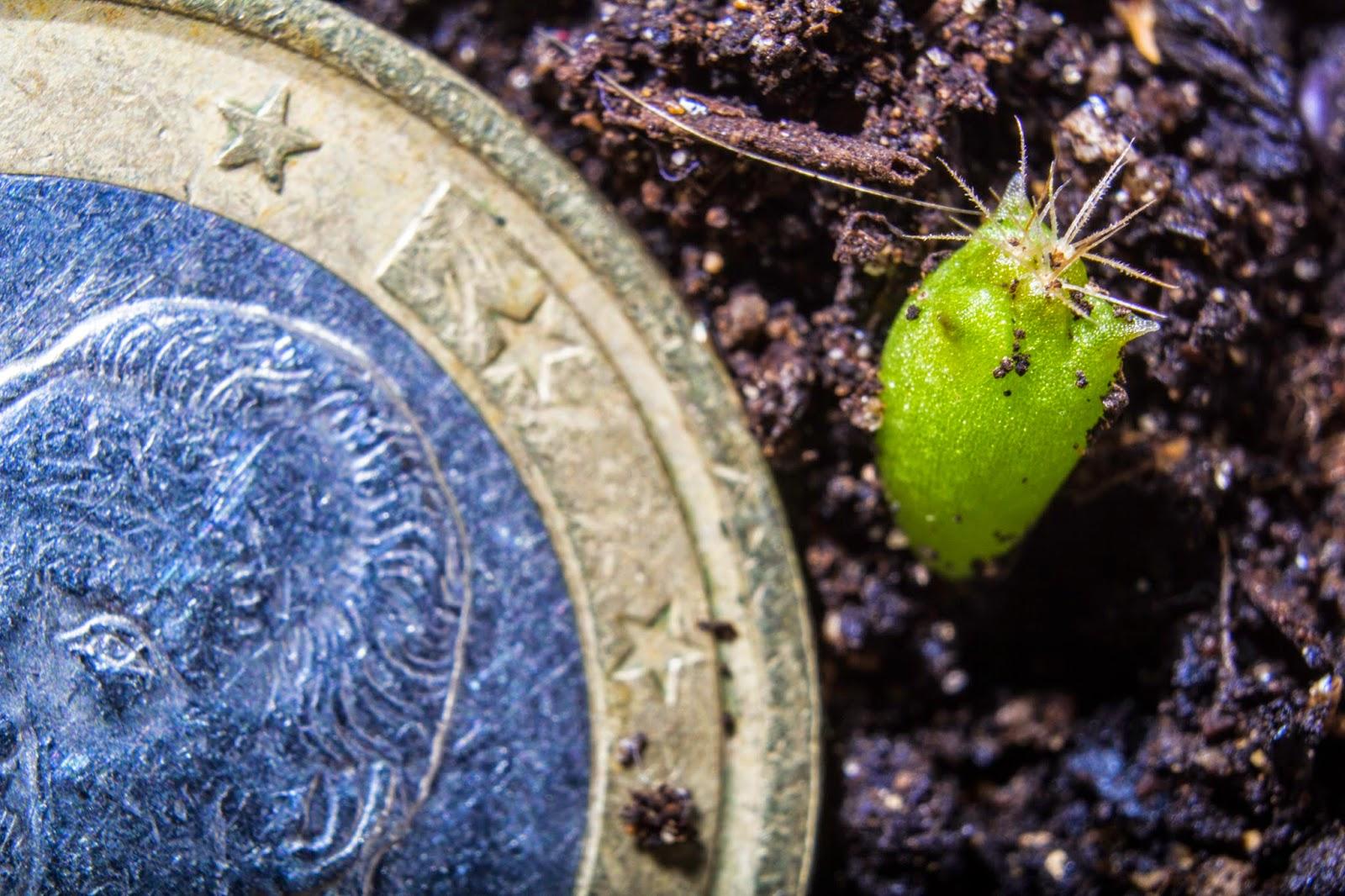 Fotografías macro de brotes de cactus