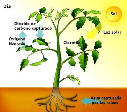 Elementos intervienen fotosintesis wikipedia 13