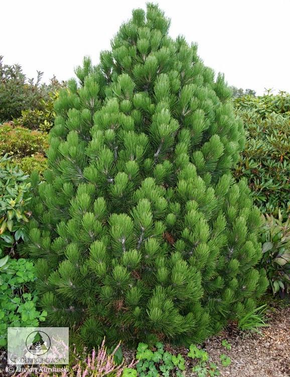drzewko świąteczne sosna