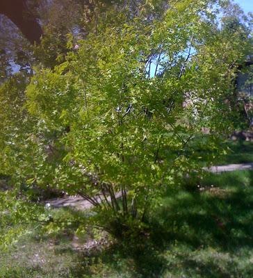 Quercus cocinnea