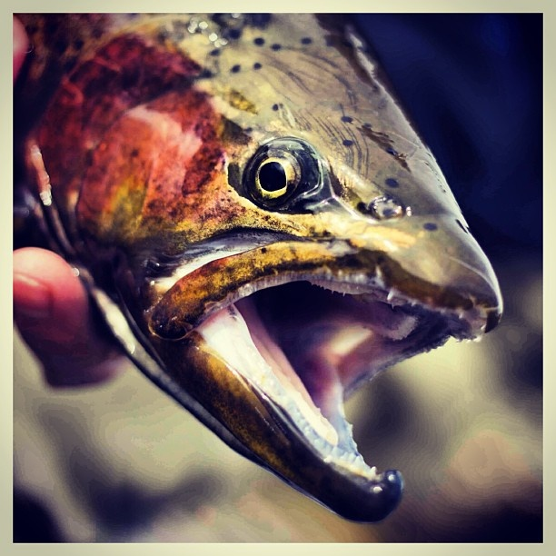 Trout profile