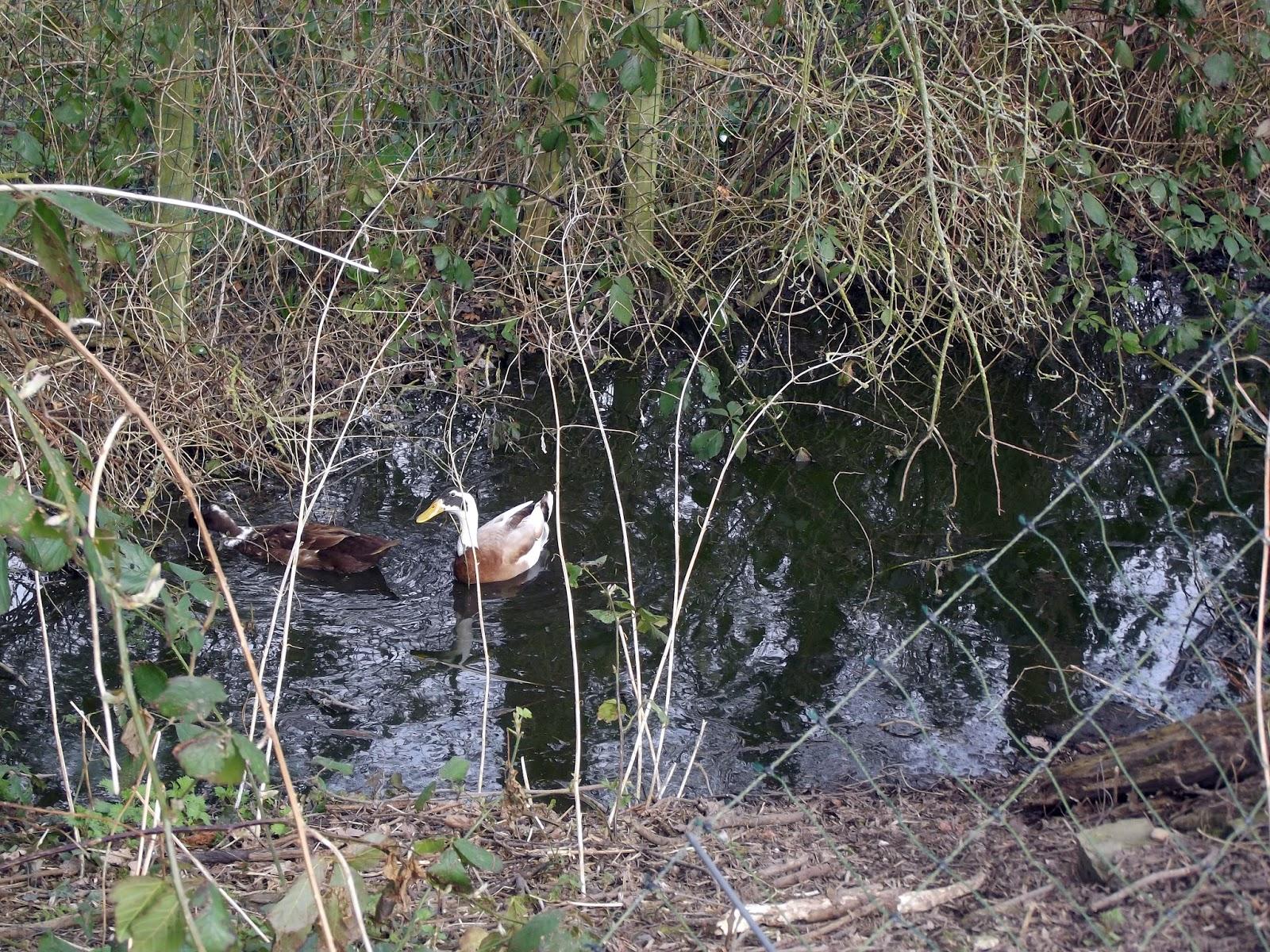 Enten und anderes in white gables march 2014 for Naturteich zum schwimmen