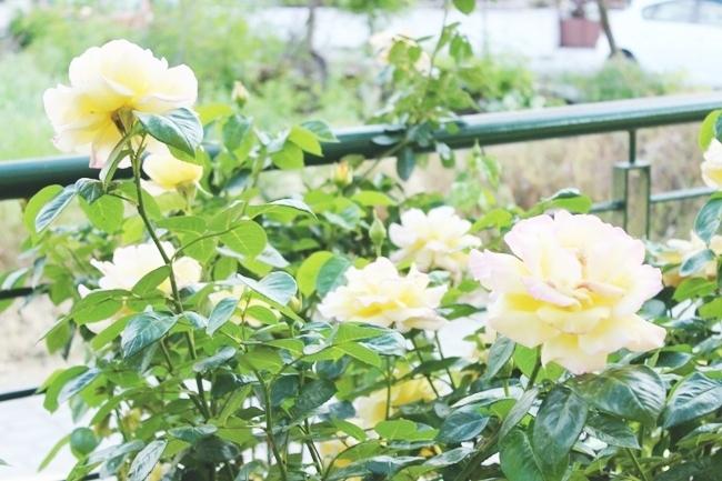 yellow roses.zute ruze.