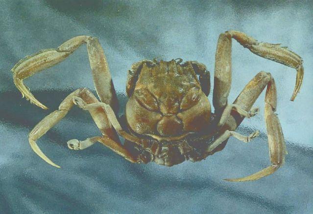 Kepiting Aneh Berbentuk Wajah Manusia