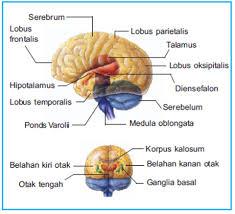 Bagian-bagian Otak Manusia