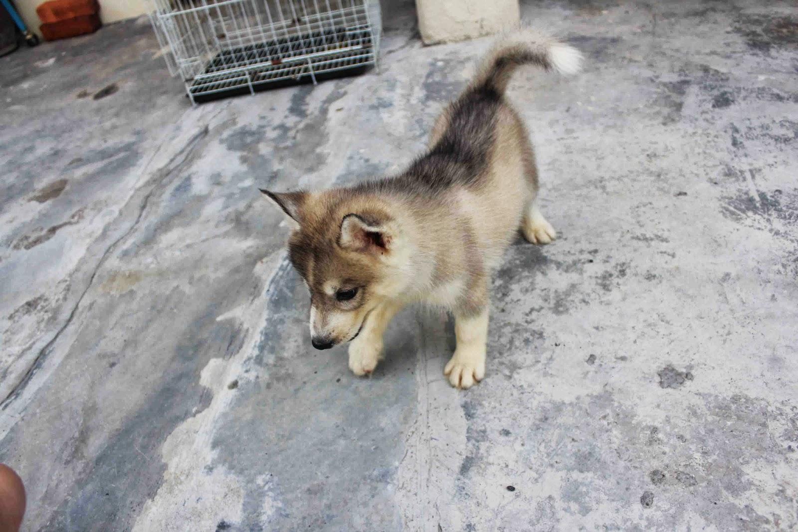 Dark Red Copper Siberian Husky PuppyDark Red Siberian Husky