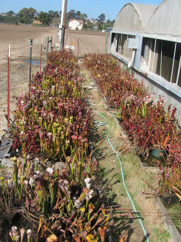 Mexa Exotics greenhouse - outside shot showing field of pitcher plants