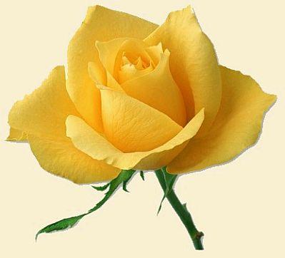 ===Historias que me gustan de...=== Rosas+Amarillas+21