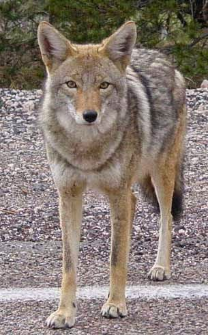 http://www.statesymbolsusa.org/South_Dakota/animal_coyote.html