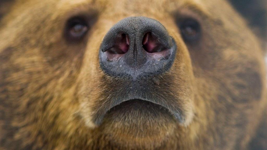 barnamedve, medve, medvetámadás, Székelyföld,