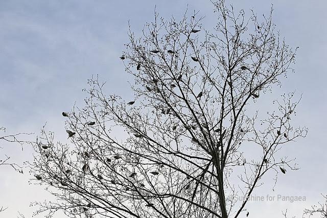 Eurasian Siskins flock