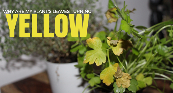 Why Are My Plants Turning Yellow?