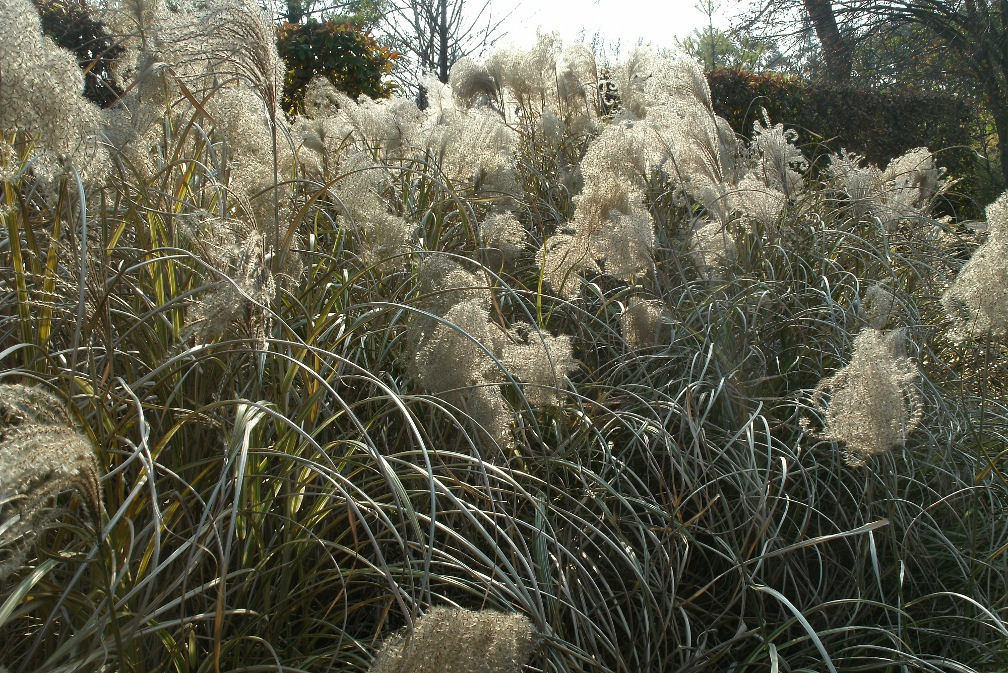 autumn_maiden_grass_Miscanthus_toronto_botanical_garden_by_garden_muses: a_toronto_gardening_blog