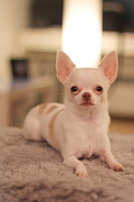 El Perro Chihuahueño o Chihuahua