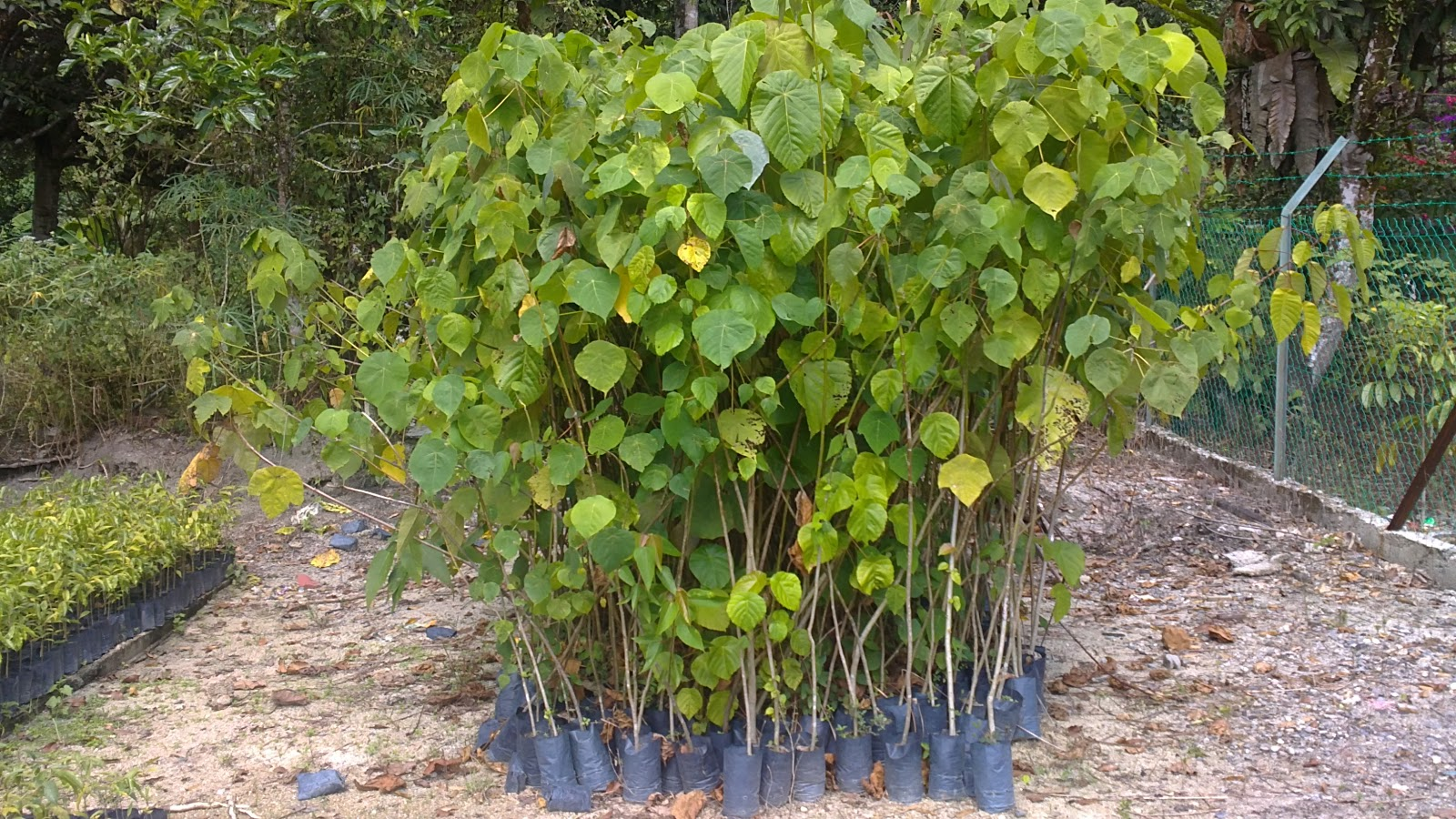 macaranga pruinosa The methanolic fresh leaf extracts of macaranga gigantea, macaranga pruinosa, macaranga tanarius and macaranga triloba were screened for their antioxidant properties (aop), tyrosinase inhibition and antibacterial activities total phenolic content (tpc), 1,1-diphenyl-2-picrylhydrazyl (dpph) free radical.