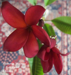 Plumeria 'Waimea' flowering indoors in Chicago - January 2013.