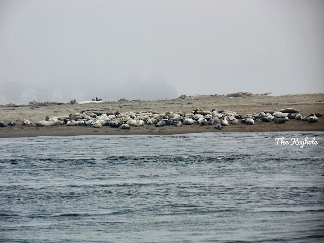 Siletz Bay harbor seals