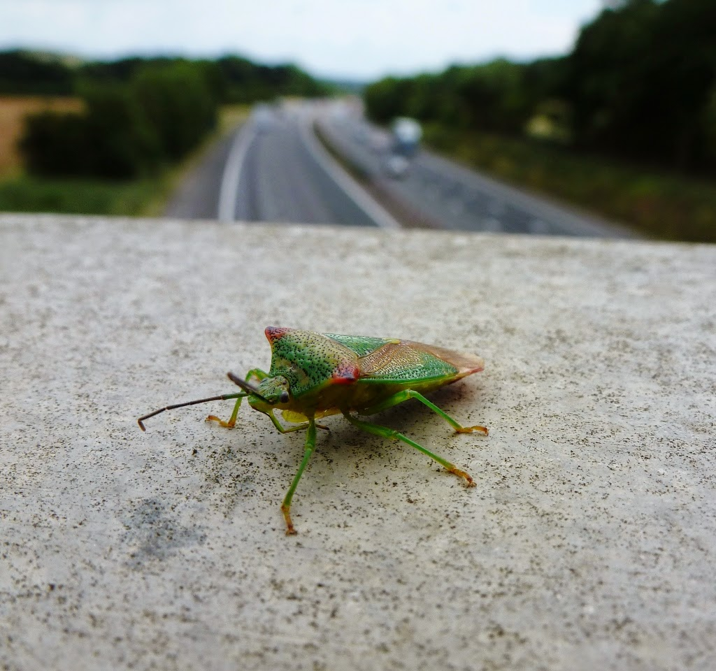 Green Shield beetle on M4 bridge