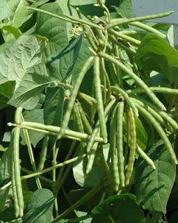 Syarat Tumbuh Tanaman Kacang Hijau