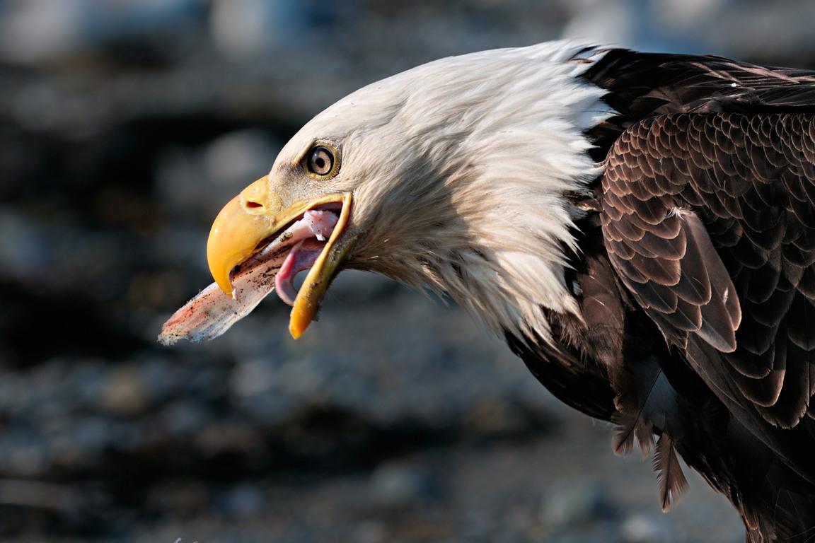 Bald Eagle | The Life of Animals