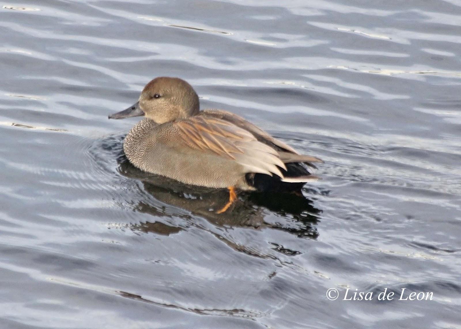 The Gadwall Duck - Various Bird Species