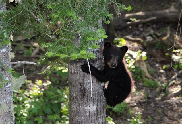 bearsafari,Canada