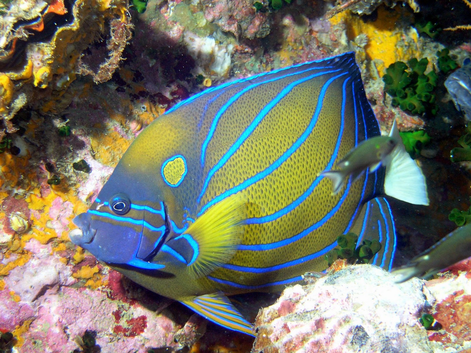 Marine Angelfish Animal Unique