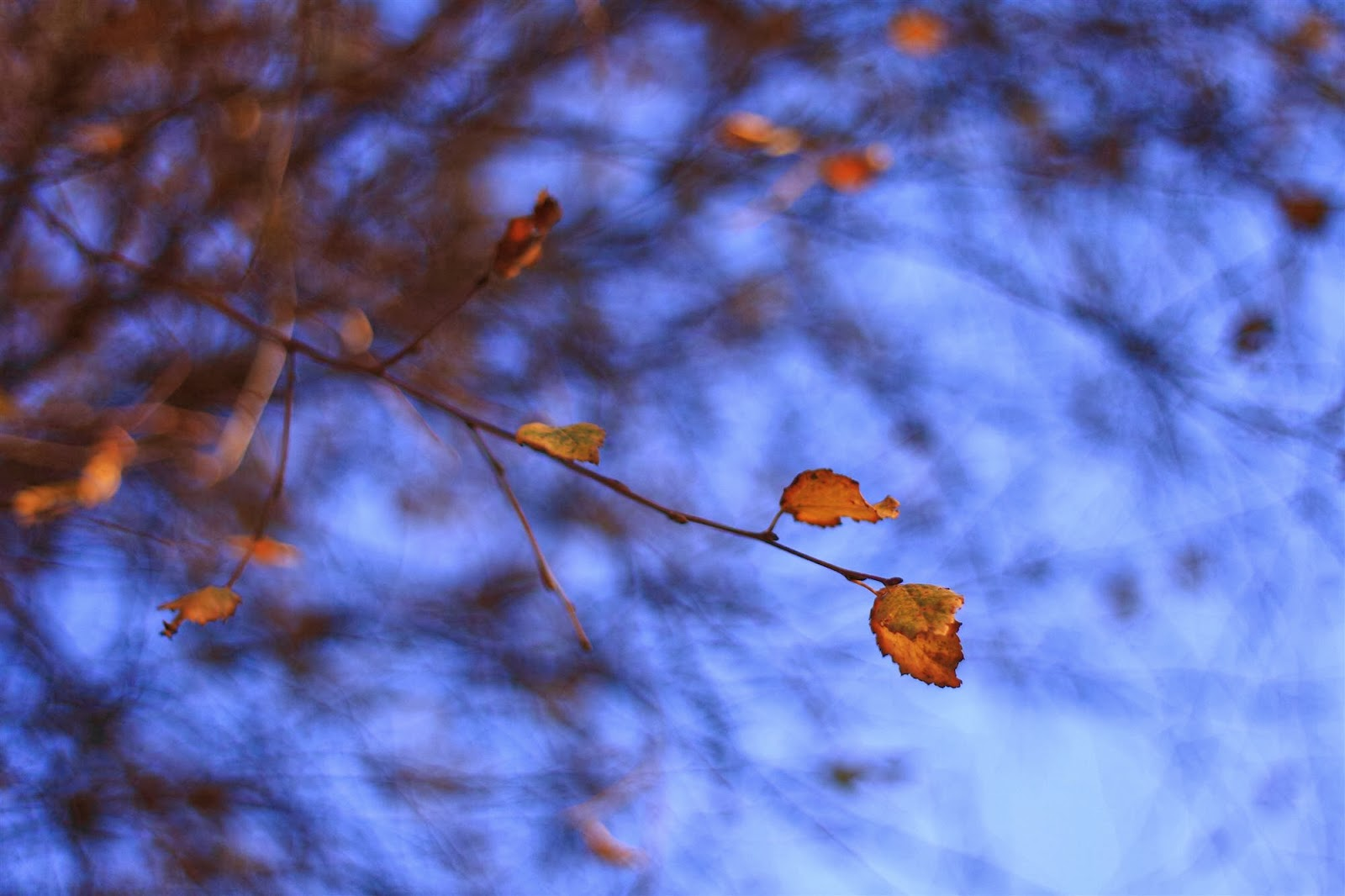 the last leaves on a birch tree, blue background