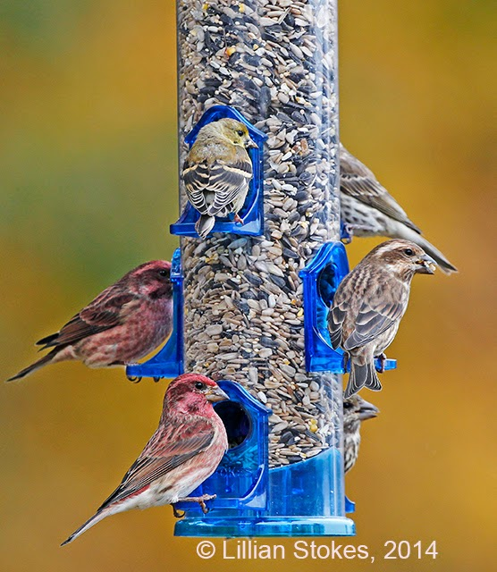 finch birds house siskins feeder bird feeders feeding resources at calgary primer pine nijer birding
