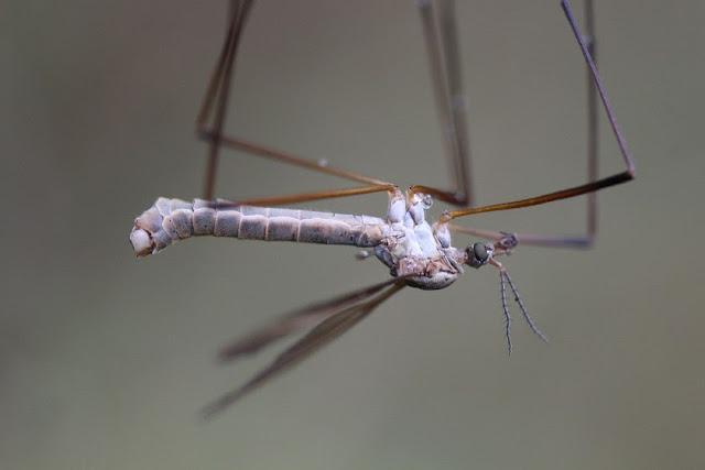 Tierfotos - Insekten - Kohlschnake