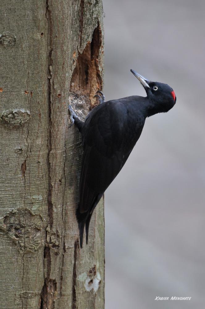 Okil beltza, Dryocopus martius, Pito negro