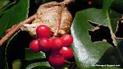 畑で見つけた面白い画像です。 この赤い実は畑の川べりの大きな木に蔓で絡まって .