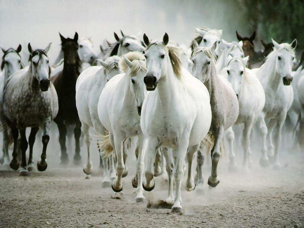 Beautiful wallpapers white horse wallpapers for Beautiful horses