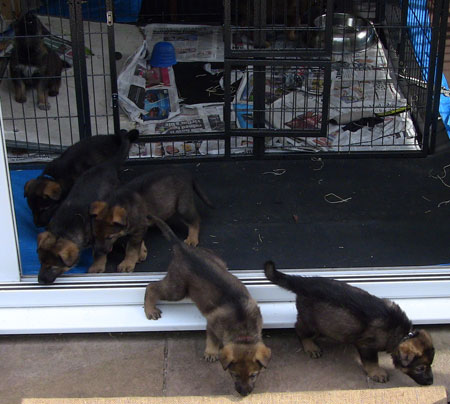 Puppies leaving their indoor pen for their outdoor one