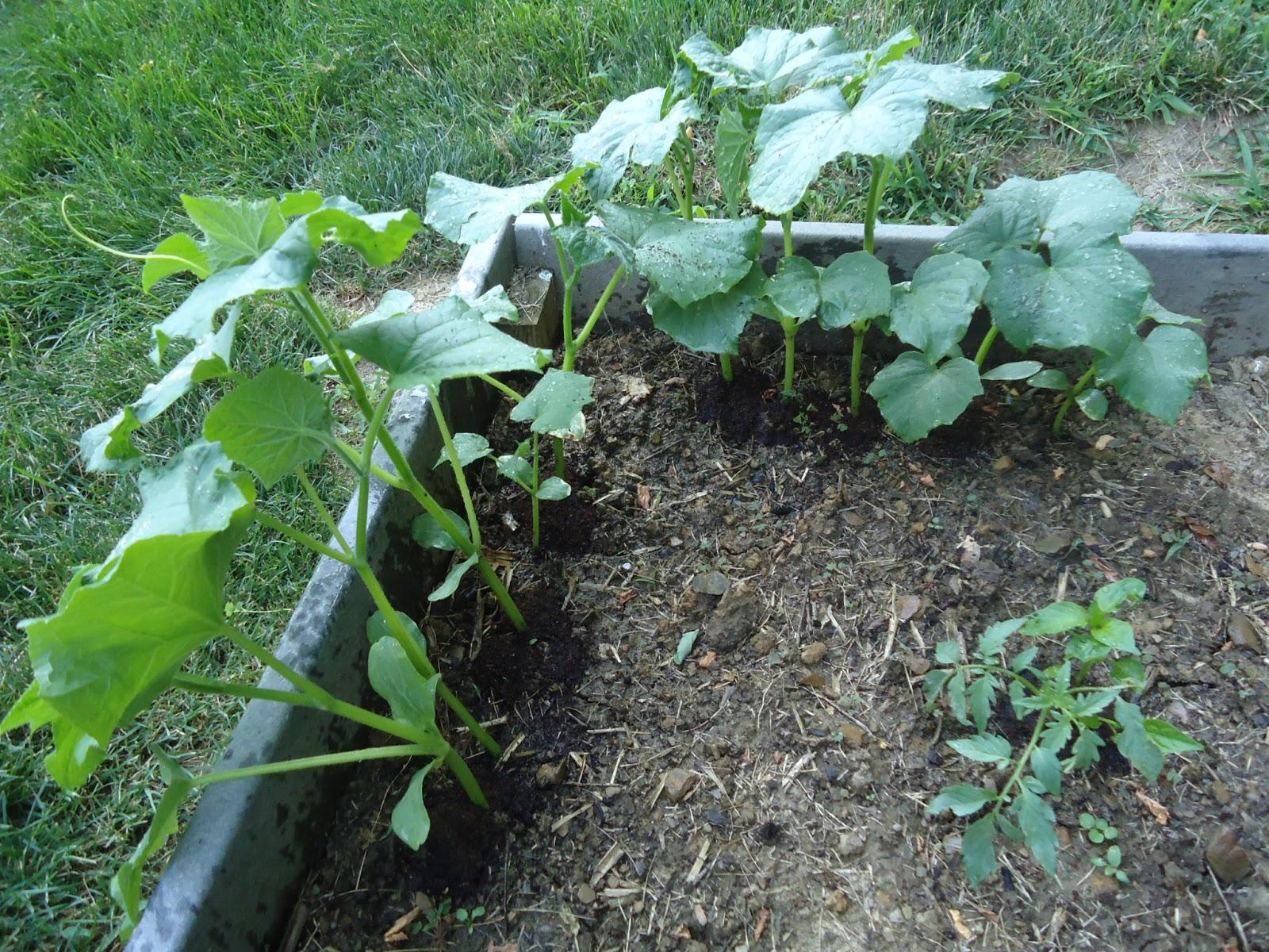 organic cucumbers and vermicompost