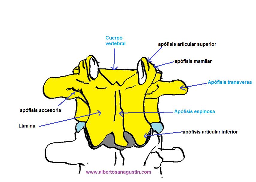 Anatomía de la columna lumbar - Dr. Alberto Sanagustín