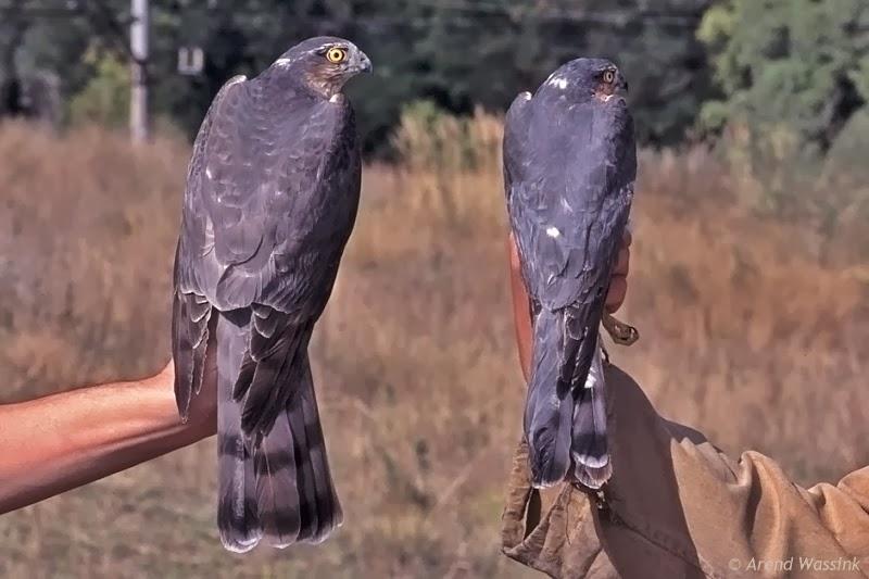 pareja de gavilanes usados en cetrería