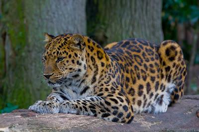 Foto Macan Tutul Amur (Panthera Pardus Orientalis)