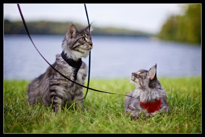 Maine coon kittens by the lake